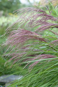 Silver Grass 'China' • Miscanthus sinensis 'China' • Morning Light 'China' • Plants & Flowers • 99Roots.com