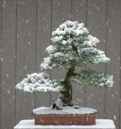White pine in snow...