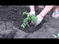 Посадка помидор, как садить томаты - YouTube