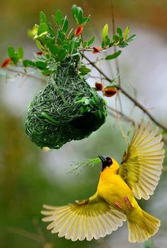 Everything needs home, so do the birds too. What a beautiful bird making nest.