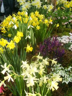 Daffodils, Snowdrops, Irises & Hellebores at the @Matty Chuah RHS  London Plant & Design Show - London 2013