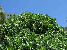 fillirea pianta - Cerca con Google