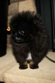 Teacup  Pomeranian  Puppy (mybreeding)