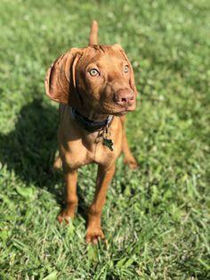 Vizsla Dog, Doberman Dogs, Vizsla Puppies, Pitbulls, Puppy Love, Cute Dogs, Cute Animals, Friends, Board