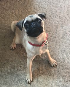 Pug dog for adoption in huntley il adn 457310 on puppyfinder pug dog for adoption in phoenix az usa adn 706571 on puppyfinder thecheapjerseys Image collections