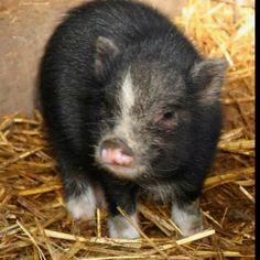 i'd have a potbelly pig ;)