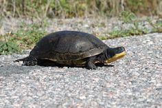 Blanding's Turtle.