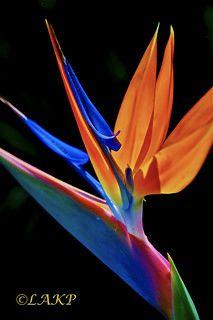 Bird Of Paradise   Evan Kopczyk   Flickr Paradise Flowers, Exotic Flowers, Love Birds, Babe