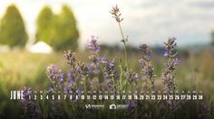 Desktop Wallpaper Calendars: June 2015 - Smashing Magazine : Lavender Is In The Air!