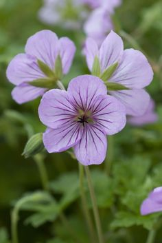 "Geranium Joy - Height & spread 30cm (12""). Hardy perennial."