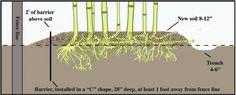 Excavar una trinchera alrededor y controlar los rizomas que traten de atravesarla.