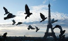 An poster sized print, approx (other products available) - Pigeons flying in front of the Eiffel Tower at sunrise in Paris on April / AFP PHOTO / DOMINIQUE FAGET - Image supplied by Agence France-Presse (AFP) - Poster printed in the USA Tulip Season, France Eiffel Tower, Framed Prints, Canvas Prints, Tour Eiffel, Pigeon, The Guardian, Poster Size Prints, Paris France