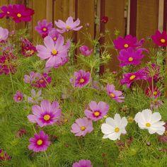 Cosmos, Sensation Mix – Mary's Heirloom Seeds
