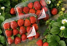 Well Pict Berries is proud to supply premium & proprietary berries for all to enjoy! Strawberry, Wellness, Fruit, Beauty, Food, Essen, Strawberry Fruit, Meals, Beauty Illustration