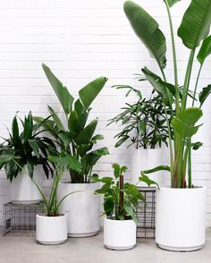 Introducing 'King Billy' planters - new in store. Good for keeping plants in and around. Comes in 3 sizes and 3 colours. #looseleafstore #plants #indoorplants #houseplants