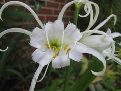 peruvian lilies, wonder how hard these are to grow.