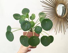 Pilea Is The Perfect Houseplant Indoor Flowers, Indoor Plants, Belle Plante, House Plants Decor, Plant Decor, Deco Floral, Green Garden, Tropical Plants, Horticulture