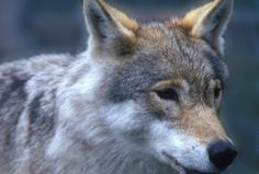 In Hedmark County we have 80% of all wolfs in Norway...