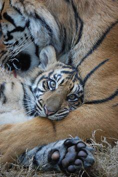 Tiger Cub ~ Atlanta Zoo