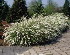 Bridal Wreath Spirea: zone 3 h:5-7' w:5-7' full sun. Also goes by name 'Vanhouttei Renaissance Spirea'. A more disease resistant selection of the traditional vase shaped upright shrub with blue green foliage in summer turning orange red in fall. Prolific white flowers along the arching stems in early June. Good accent plant for the border or in mass plantings.