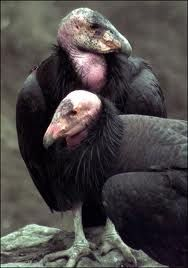 Pair of California Condors Only a Condor mother could love these ugly birds Raptor Bird Of Prey, Birds Of Prey, Reptiles, Mammals, Bird Pictures, Animal Pictures, Beautiful Birds, Love Birds, Scavenger Birds