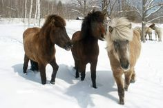 Icelandic horses, my favorite.  Would love to own one, but will settle for riding one.