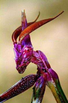 Empusa / Haubenfangschrecke (Empusa pennata) ist eine Fangschrecke aus der Famil… Empusa / Crested Grasshopper (Empusa pennata) is a grasshopper from the Empusidae family. Cool Insects, Bugs And Insects, Weird Insects, Beautiful Bugs, Amazing Nature, Beautiful Creatures, Animals Beautiful, Cool Bugs, Insect Photography
