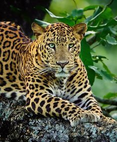 Jungle Animals, Animals And Pets, Cute Animals, Beautiful Cats, Animals Beautiful, Big Cat Species, Jaguar Animal, Wild Animals Photos, Cat Photography