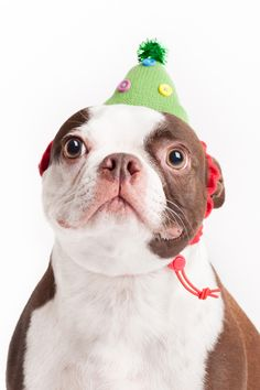 Boston Terrier, creative dog photographer, dogs in hats, Alice G Patterson Photography Cute Dog Photos, Funny Dog Pictures, Puppy Pictures, Brindle Boston Terrier, Boston Terrier Love, Boston Terriers, Terrier Dogs, Teach Dog Tricks, Cute Funny Dogs