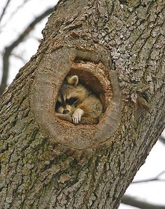 This raccoon has been spotted in this tree for months. Usually when you check the tree and it's there, you see its back fur in the hole. but if you're willing to wait, sooner or later it turns around.