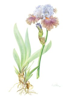 Botanical Art School of Melbourne classes in Jan. with fiona mckinnon Vintage Botanical Prints, Botanical Drawings, Botanical Art, Iris Drawing, Hibiscus, Plant Illustration, Science Art, Floral Watercolor, Watercolour