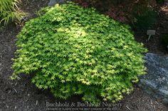 Kigi Nursery - Acer palmatum ' Yama hime ' Dwarf Japanese Maple Tree, $15.00 (http://www.kiginursery.com/dwarf-miniatures/acer-palmatum-yama-hime-dwarf-japanese-maple-tree/)