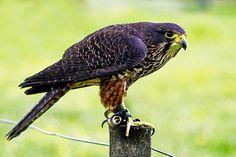 bird eyes nz bird of prey - Google Search