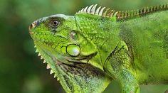 Chameleon (카멜레온) : #동물 #동물원 #animals #cyberzoo #zoo #cute