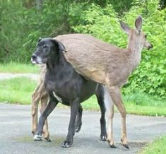Great Dane and deer | Nature's Odd And Adorable Animal Couples Teaching Us Tolerance | Kate the Great Dane and Pippin the deer have been best friends since Kate adopted Pip when she was just a few days old.