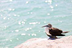 Isabela Galapagos Île Animaux | Bleu Fou à pieds des oiseaux.