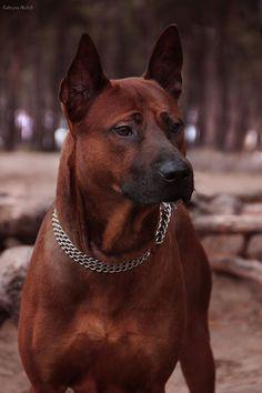DAEN THAI M20 - Thai Ridgeback Dog