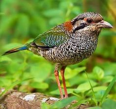 The Scaly Ground Roller (Geobiastes squamiger) is a species of bird in the Brachypteraciidae family. It is endemic to Madagascar./via Bird's Eye View at www.Facebook.com/aBirdsEyeViewForYou