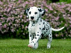 Dalmatian pup. Because we need more freckles in the family!