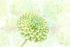 Green Chrysanthemum by Pamela Williams #sharepamsart #watercolr #art #mum #green