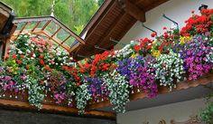 Come abbellire il tuo balcone? Quali fiori pendenti scegliere? Come coltivarli? Consigli per fiori a cascata sorprendenti.