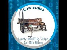 Cow Weighing Scales for Cow Farms, Dairy Units, Cattle Farms, Livestock ...