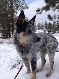 First snow for cattle dog