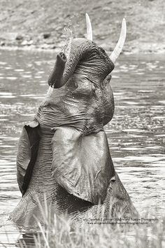 Large Bull Elephant takes a bath in the Kruger National Park - South Africa. Kruger National Park, Bathing Beauties, Wildlife, Elephant, Southern, Africa, Landscape, Nature, Animals