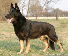 East-European Shepherd as opposed to the type bred for looks or pet life. This could make an awesome partner for preppers.