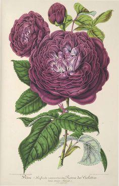 Rosa 'Reine des Violettes' - 1860 botanical rose illustration