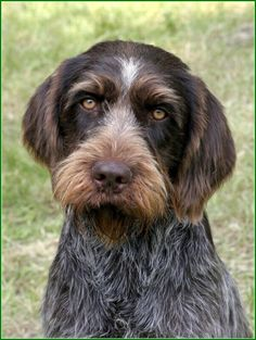 Cesky Fousek, Fantastic family dog as well as excellent hunting dog. The breed nearly went extinct in the 1920s, and was saved by breeding with Stichelhaars.