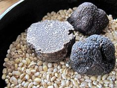 truffles in the wild | Perigord truffles from the North Carolina and Tennessee Piedmont ...