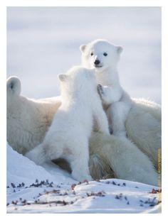 Shhhhh, we better not wake up Mom. Baby Animals Super Cute, Cute Little Animals, Cute Funny Animals, Baby Animals Pictures, Cute Animal Pictures, Animals And Pets, Wild Life Animals, Baby Polar Bears, Cute Polar Bear
