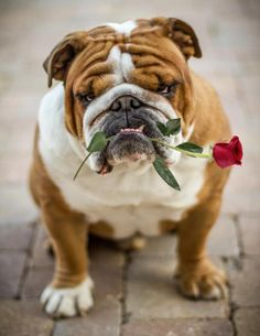 Happy Valentine's Day! #English #Bulldog